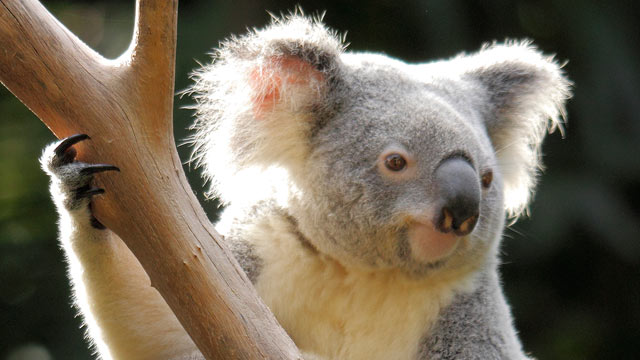 PHOTO: A koala is shown at the zoo in Queensland, Australia.