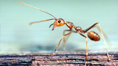 PHOTO: Fire ant