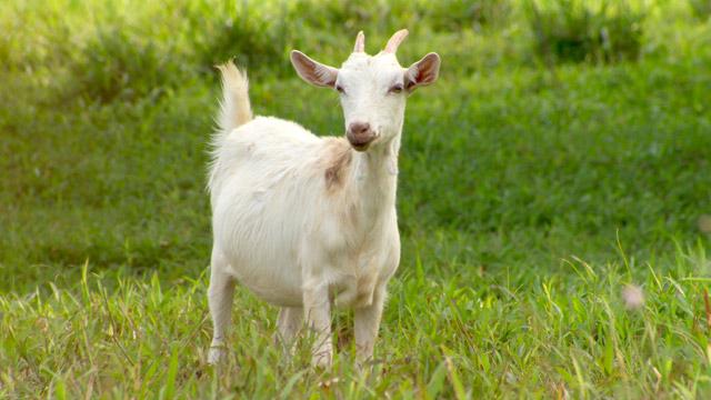 PHOTO:Goat