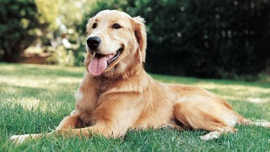 PHOTO: Portrait of a Golden Retriever