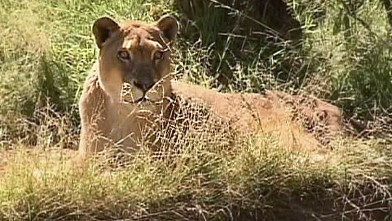 PHOTO: Cookie the lioness at the Los Angeles zoo has a fluid sac around her heart.