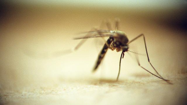 PHOTO: Mosquito