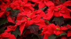 PHOTO: Poinsettias (Christmas Star) stand at the greenhouse of The Silva Tarouca Research Institute for Landscape and Ornamental Gardening in Pruhonice, Czech Republic, Nov. 29, 2013.