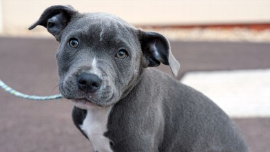 PHOTO: Alert blue and white Staffordshire Bull Terrier puppy on lead looking at camera.