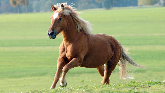 PHOTO: A stallion runs across a meadow in Germany in this file photo.