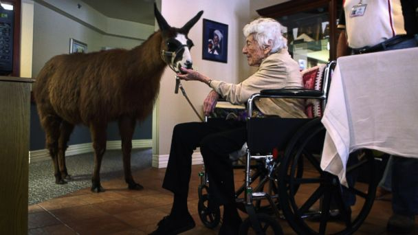 PHOTO: Terminally ill hospice patient Helen Kress feeds Pisco, a 13-year-old therapy llama, during his visit to the Hospice of Saint John on Sept. 1, 2009 in Lakewood, Colo.