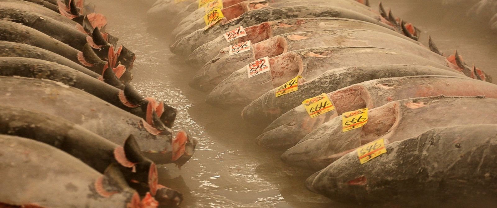 PHOTO: Frozen tuna lie on the ground during the new years first auction at the Tsukiji fish market on Jan. 5, 2010 in Tokyo.