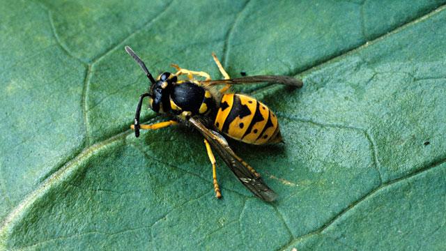 PHOTO: Yellow jacket wasp