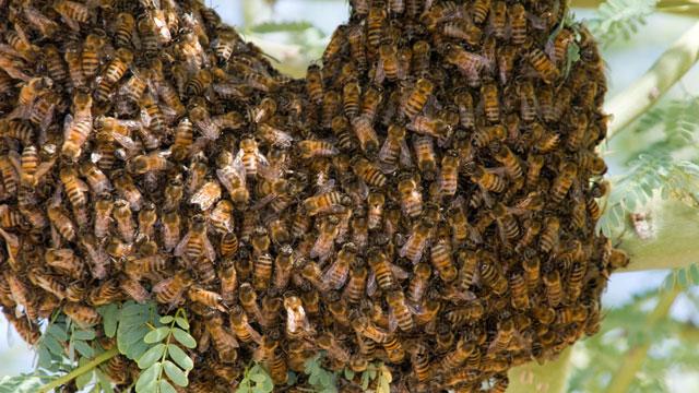 PHOTO: Africanized killer bees