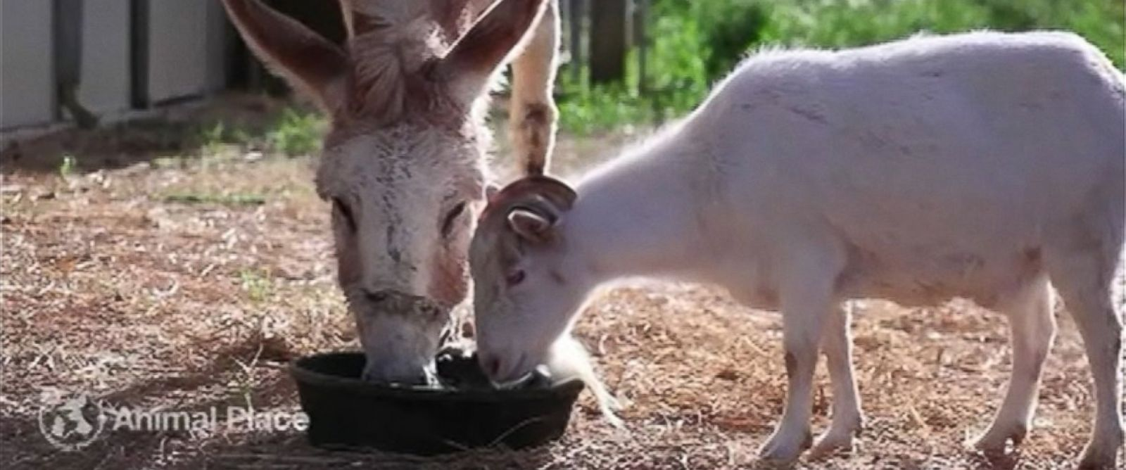 PHOTO: Mr. G the goat is reunited with Jellybean the burro after being separated for six days.