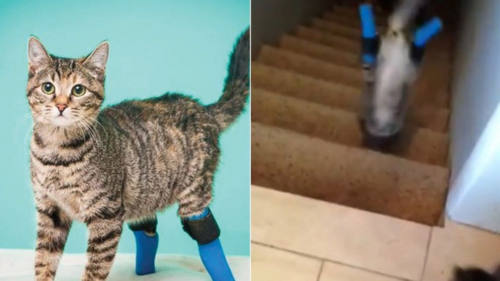 PHOTO: Boots the cat is still getting used to her prosthetic hind limbs.