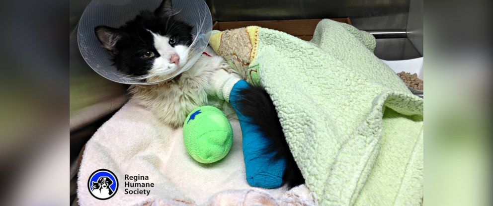 "PHOTO: A cat nicknamed ""Bruce Almighty,"" seen here in an image posted to the Regina Human Society Facebook page on March 23, 2015, required surgery to remove several toes on his front paws after he was found wrapped in electrical tape."