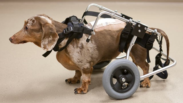 PHOTO: Research to help dogs recover from spinal cord injuries could help humans, too.