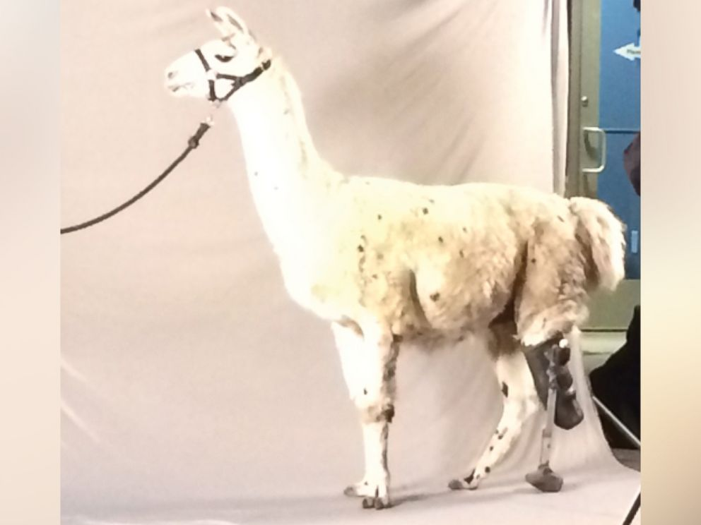 PHOTO: Tripod, a rescue llama, fractured his back left leg and ultimately it was amputated. Now fitted with a prosthetic, he works as a guard llama on an alpaca ranch in Colorado.