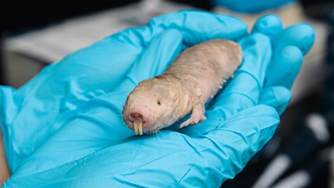 ht naked mole rat ll 130620 wblog Naked Mole Rats Have Cancer Proof Goo
