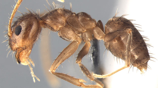 PHOTO: worker of Nylanderia pubens in lateral view