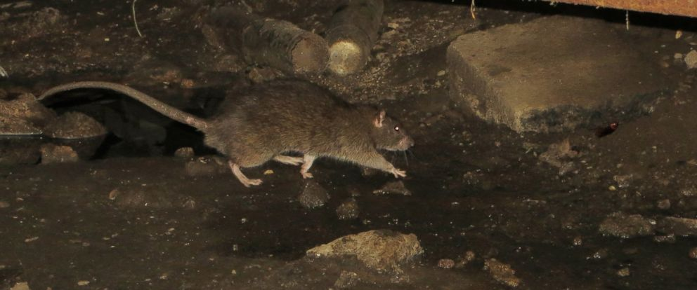 PHOTO: Researchers found 18 unknown viruses during their four-year study of New York City rats.