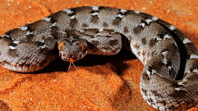 PHOTO: Saw-scaled viper (Echis carinatus) in Arabia and South Asia is the source of tirofiban (Aggrastat®) one of the cornerstone drug for the treatment of the most lethal types of heart attacks.