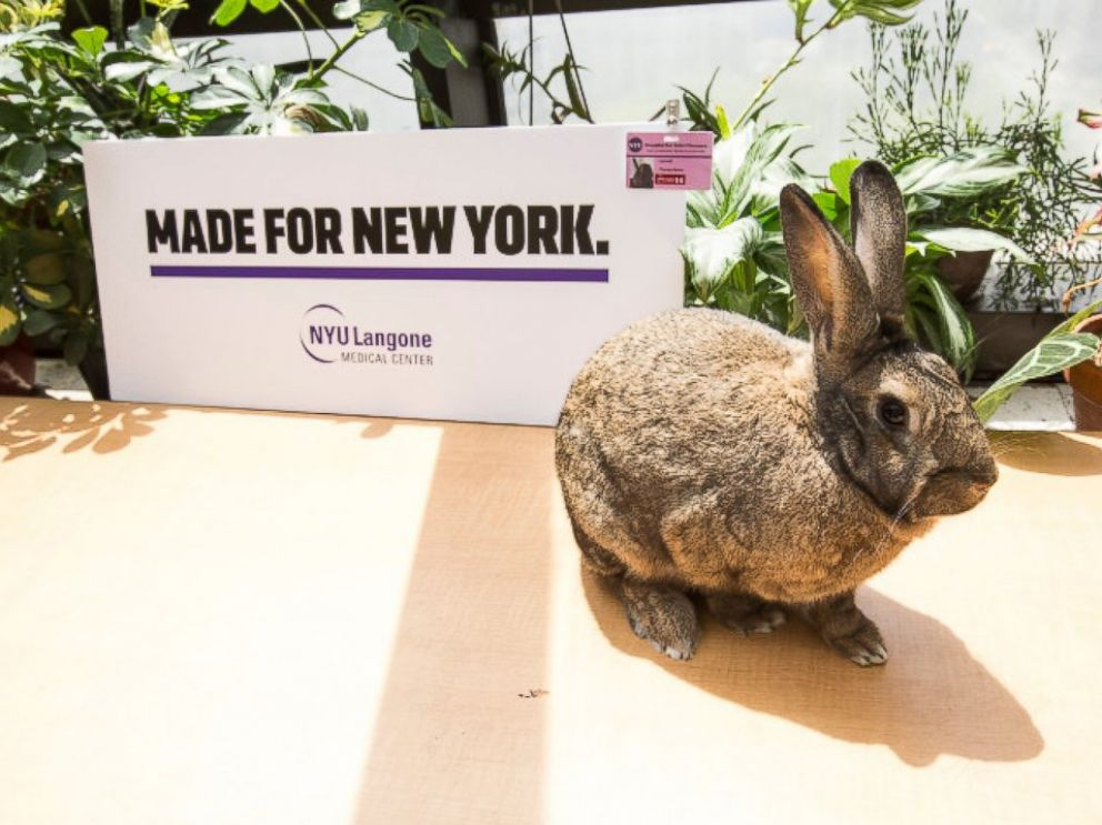 PHOTO: Clovis, a rescued rabbit, is one of two therapy bunnies as NYU Langone Medical Center.