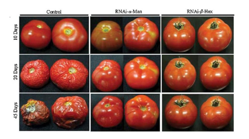 "PHOTO: This image shows control tomatoes deterioration versus genetically modified tomatoes from a study entitled, ""Enhancement of fruit shelf life by suppressing N-glycan processing enzymes."""