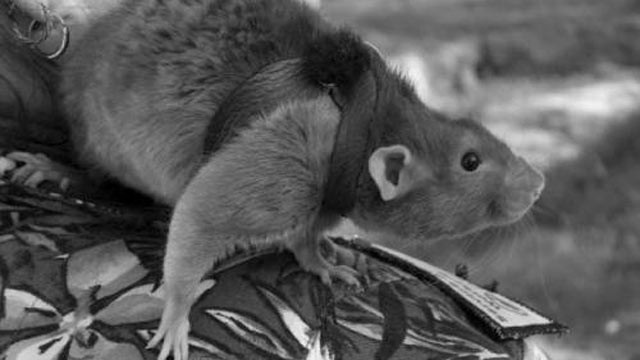 PHOTO: One of Dani Moore's former service rats.