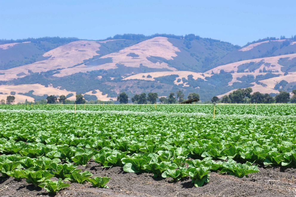 PHOTO: Field of romaine lettuce.