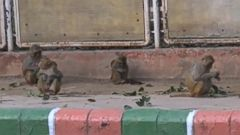 VIDEO: Monkeys are revered in India and cannot be harmed, even if they are a public nuisance.