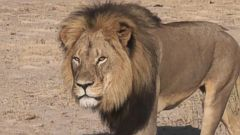 VIDEO: Zimbabwean authorities say the well-known lion, who part of an Oxford University research program, was lured to a farm where it was killed by an American tourist.