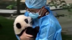 VIDEO: 23 Giant Panda Cubs Make Their Debut in China