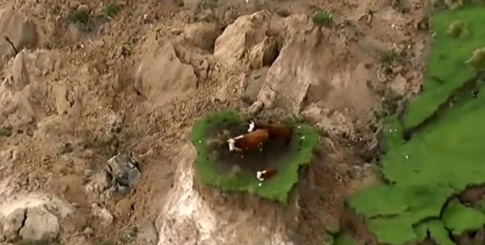 7 8 Magnitude Quake In New Zealand Leaves Cows Stranded On