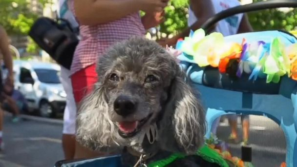 VIDEO: Pets and their owners fill the streets with colorful costumes ahead of Rio de Janeiro's Carnival