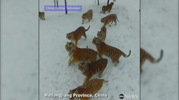 VIDEO: Video captures Siberian tigers chasing a drone, before one tiger finally catches the drone and destroys it.