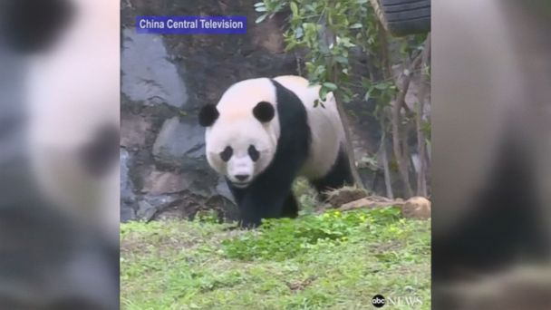 Bao Bao, the 3-year-old giant panda who left the National Zoo in D.C. this week, is enjoying her new home in China  .