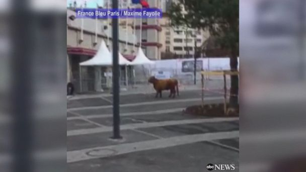 Cow escapes from the premises of Paris' annual farm show, leaving security officials chasing after the farm animal. The cow was safely returned.