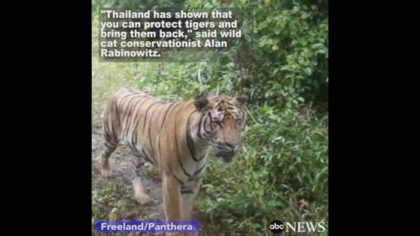 VIDEO:  Rare Indochinese tiger population discovered in jungles of Eastern Thailand