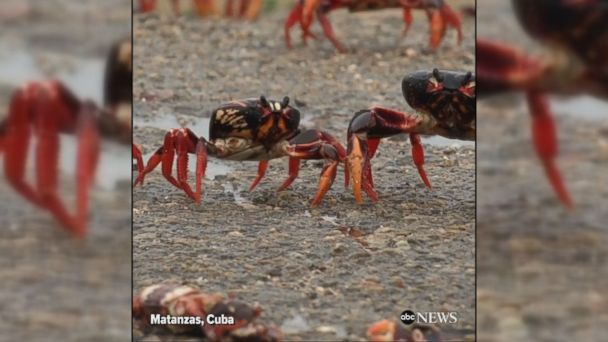 VIDEO: Millions of red, yellow and black land crabs make their annual trip to Cuba's Bay of Pigs to breed in the sea.