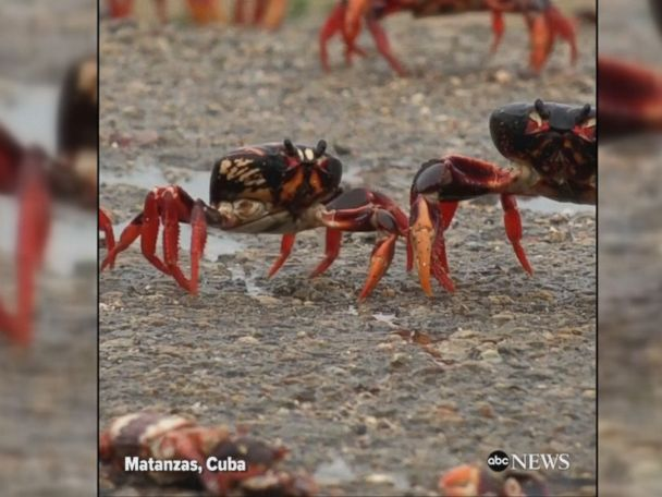 WATCH:  Millions of crabs invade Cuba's Bay of Pigs