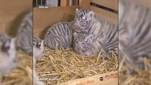 VIDEO: Four white tiger cubs - two boys, two girls, were unveiled at the White Zoo in Austria. All the cubs are said to be perfectly healthy.