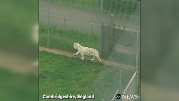 A tiger killed a female zookeeper at Hamerton Zoo Park in England on Monday, according to Cambridgeshire Police.