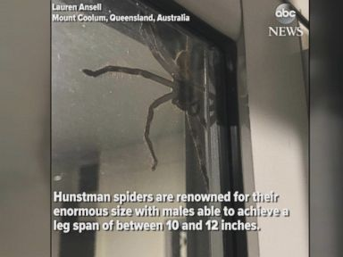 WATCH:  Hauntingly huge spider spotted in Australia