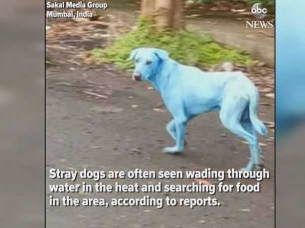 WATCH:  Dogs in Mumbai are turning blue