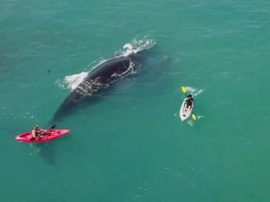 WATCH:  Kayakers' close encounter with whale and her calf