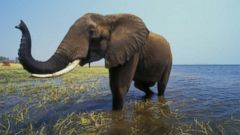 VIDEO: Whats devastating the elephant population in Africa?