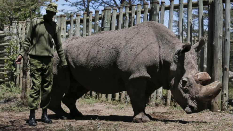 Last male northern white  rhino  dies after health complications