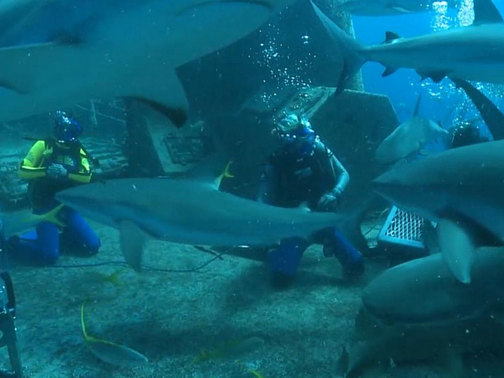 PHOTO: Good Morning America co-anchor Ginger Zee dives with reef sharks on a wreck called the Ray of Hope off of the Bahamas.