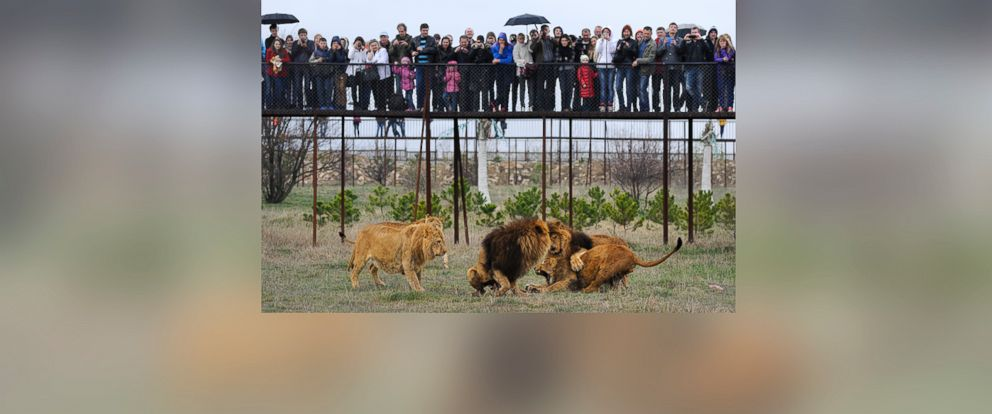 PHOTO: Visitors watch lions playing in the Taigan Safari Park, about 50 km (31 miles) east of Simferopol, Crimea, Saturday, April 12, 2014.
