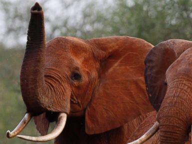 Celebrities lash out at Trump administration over reversing ban on elephant trophies