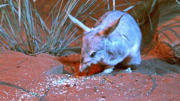 AP australlian bilby jef 140411 16x9 608 5 International Stories Youll Care About This Week