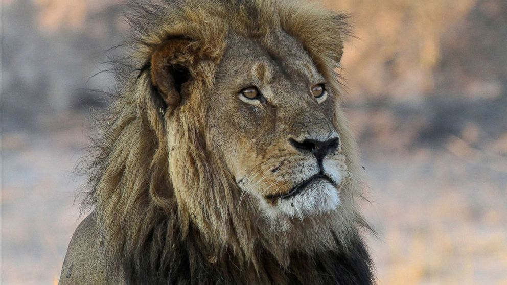 http://a.abcnews.com/images/International/AP_cecil_the_lion_as_160701_2_16x9_992.jpg
