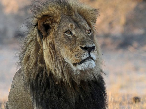 Plight of African Lions Persists 1 Year After Cecil Killing
